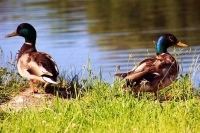 Photograher\PeterWillems: Two-male-ducks-3-[PW-NL]